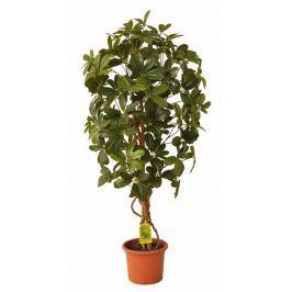 EverGreen Schefflera strom výška 110 cm v květináči, zelená